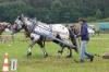 Petr Procházka mladší-norický hřebec Kuba (Junius ElmarXIV, Kerstin po Lord Vulkan XVI)