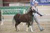 Trawel Redy welsh mountain pony sekce A