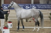 Plemenný hřebec Caro ZH, předskokan v soutěži